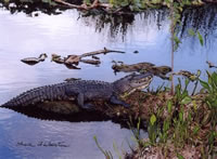 alligator in Wakodahatchee preserves
